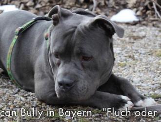 Ist Ein Amerikanischer Pocket Bully Ein Listenhund In Bayern Listenhunde