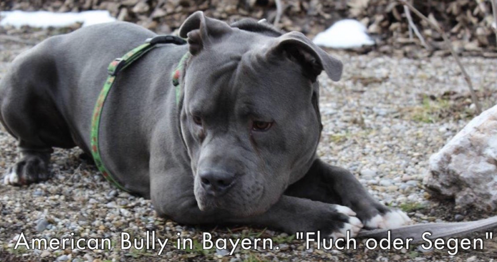 American Bully Pocket Bully Alound Bull Oeb